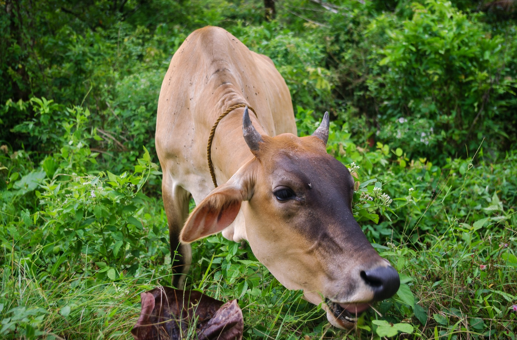Cow, Philippines