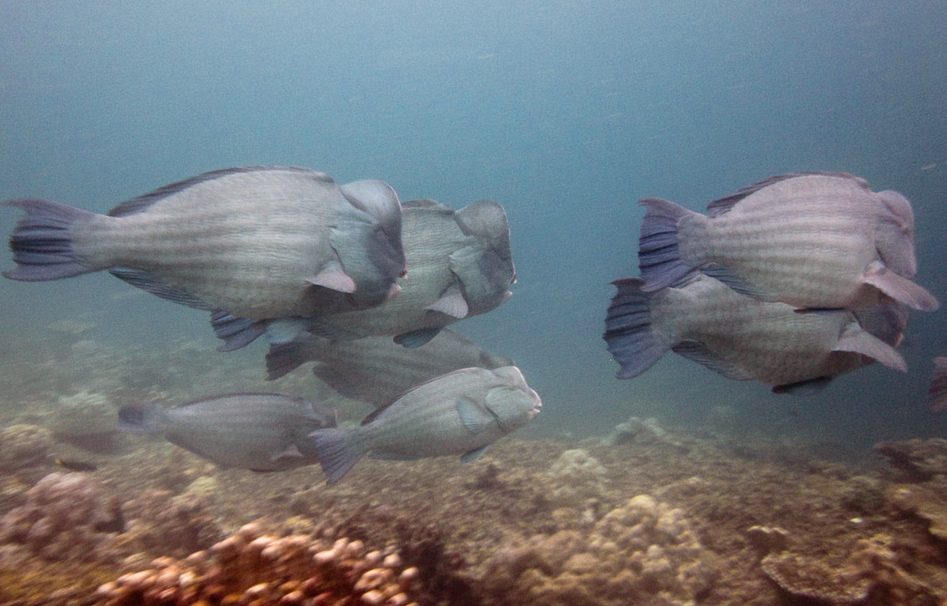 Humphead Parrotfish, South Entalula, Philippines