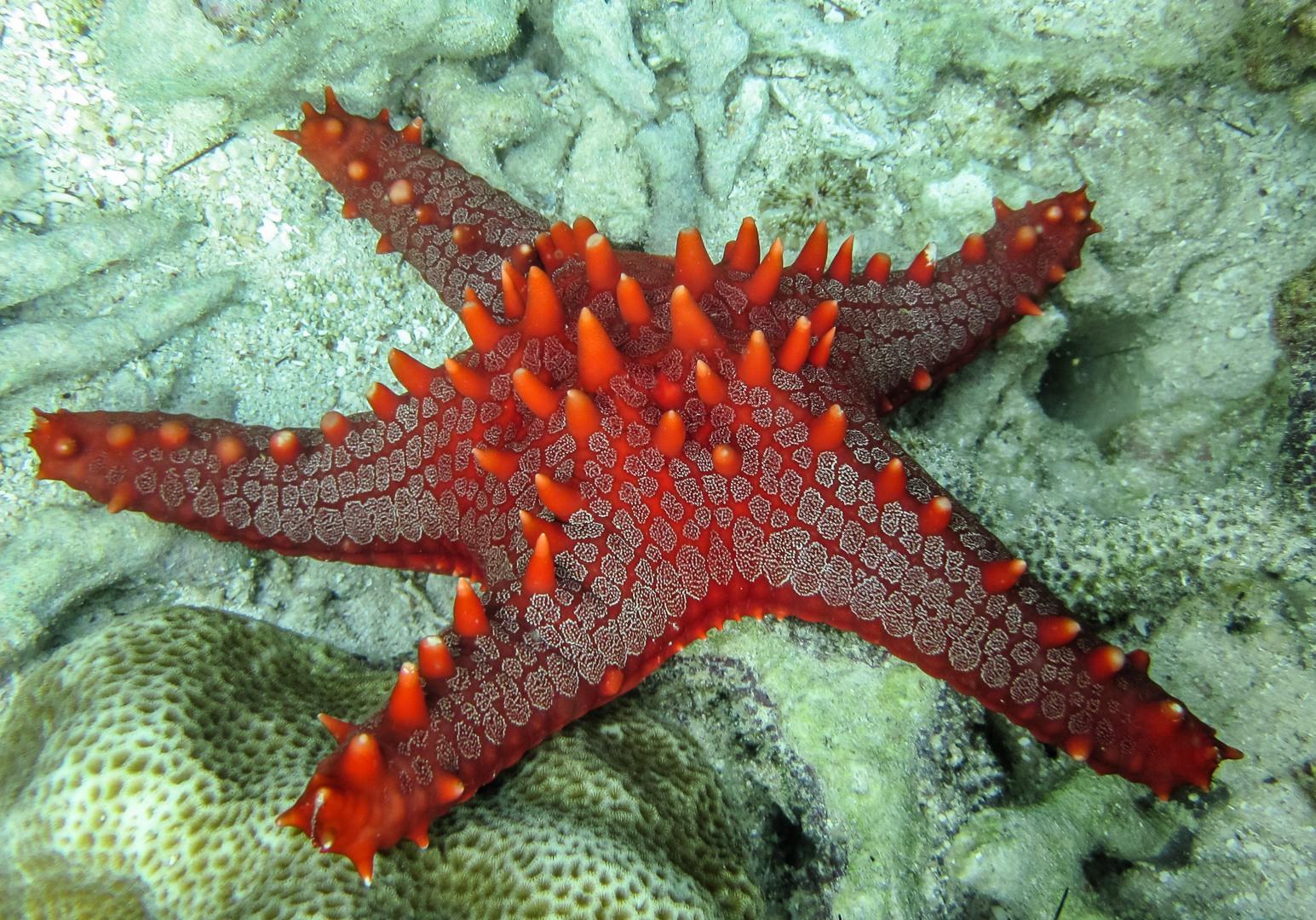 Red-knobbed starfish, Philippines
