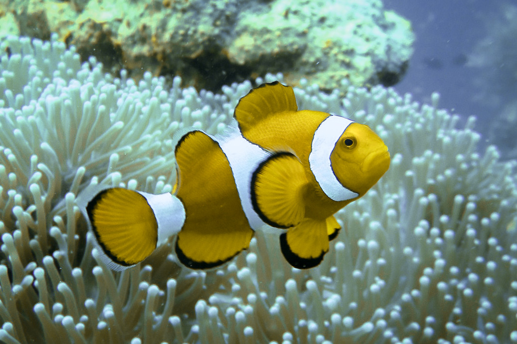 Clownfish and Anemonefish, Twin Peaks reef, Philippines
