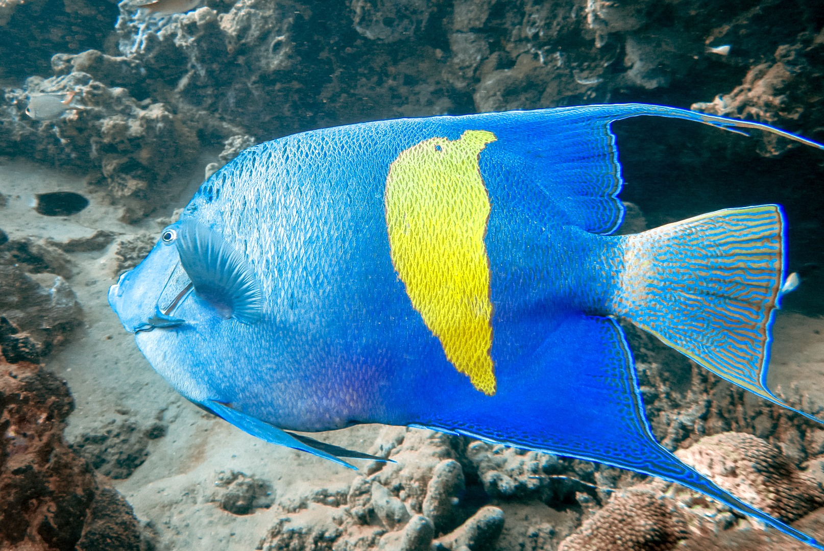 Arabian Angelfish, Red Sea