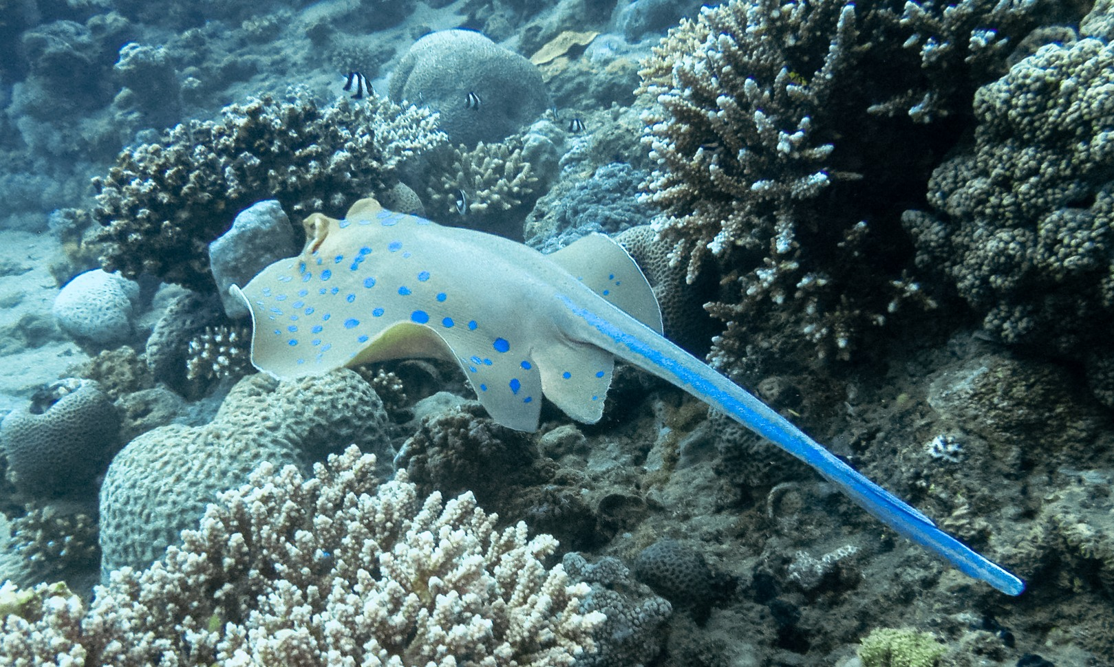 Bluespotted Stingray, Red Sea