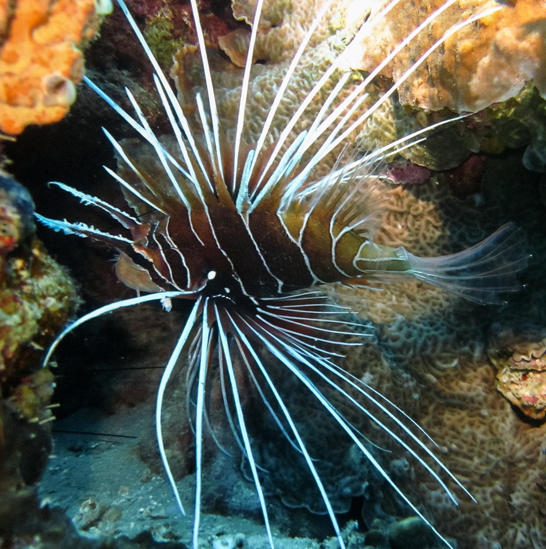 Clearfin lionfish, Red Sea