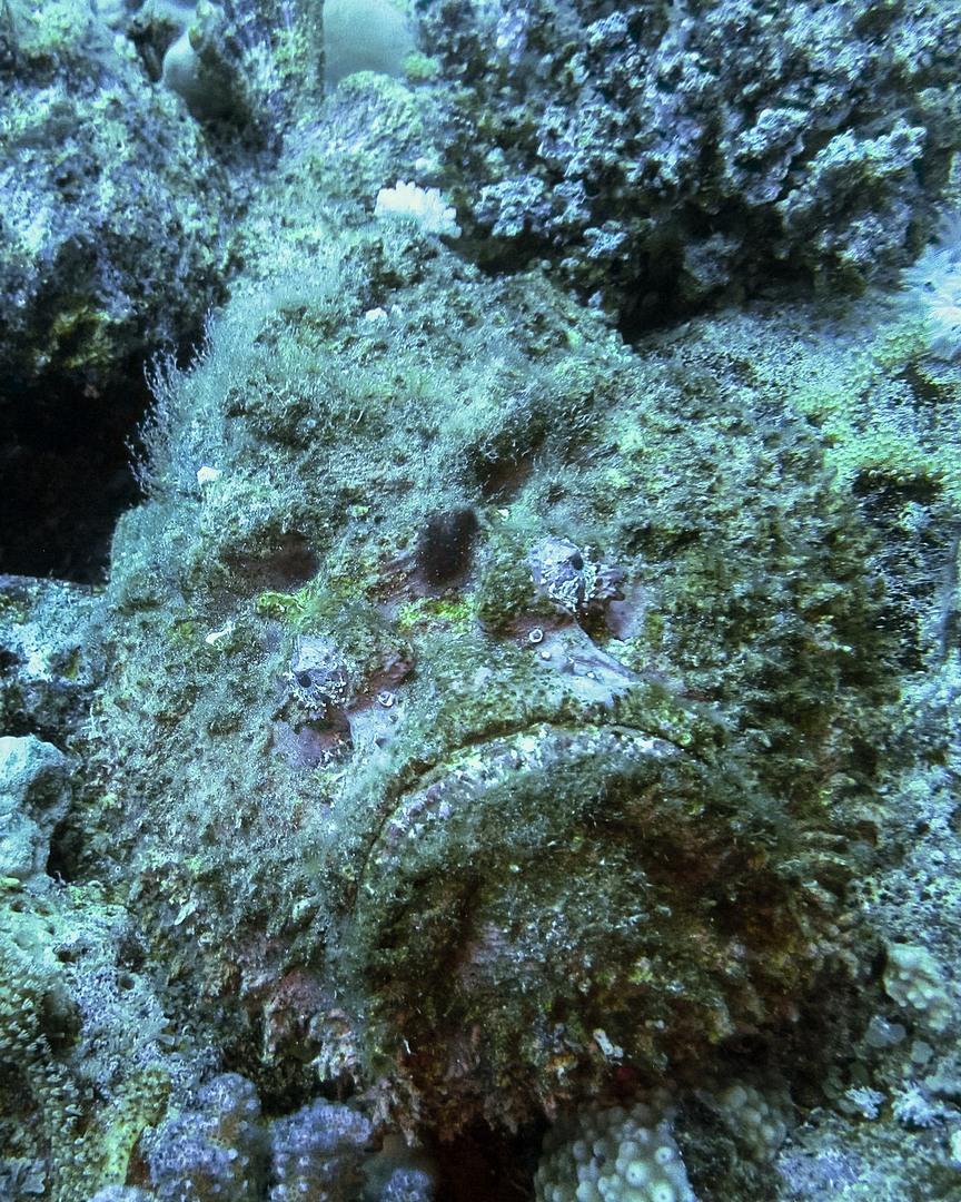 Stonefish, Red Sea