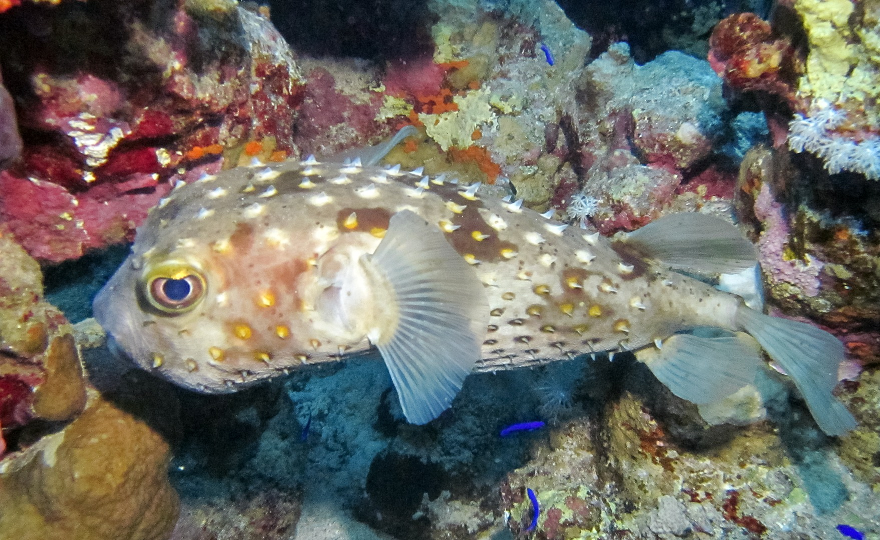 Yellowspotted Burrfish, Red Sea