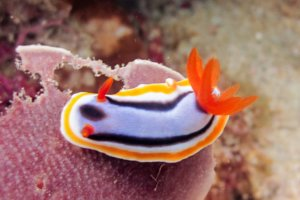 Голожаберник (Хромодорис) Nudibranch Chromodoris (Chromodoris magnifica), South Entalula, Эль-Нидо