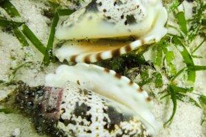 Моллюск Конус Alona Beach, о. Панглао