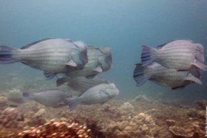 Humphead Parrotfish, South Entalula, Philippines