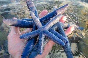 Морская звезда Starfish linckia laevigata, пляж Can Uba Beach, Джагна, о. Бохол