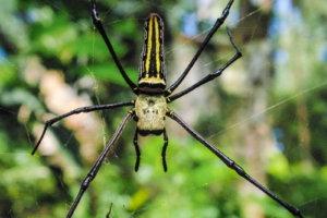 Паук Nephila pilipes, Филиппины