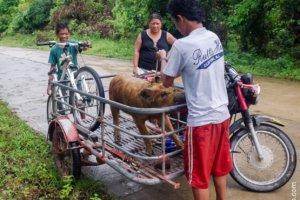 Taming pigs, Philippines