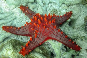 Морская звезда Red-knobbed starfish (Protoreaster Linckii), Alona Beach, о. Панглао