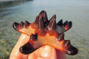 Морская звезда шоколадная рогатая Horned Sea Star (Protoreaster Nodosus) Alona Beach, о. Панглао