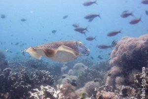 Cuttlefish, Sumilon Island, Philippines