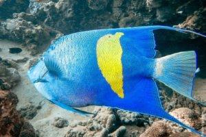 Arabian Angelfish, Red Sea