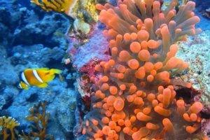 Bubble Anemon, Red Sea