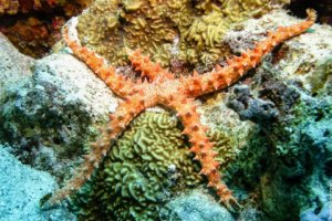 Egyptian Sea Star, Red Sea