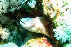 Peppered moray, Red Sea