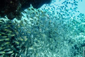 Yellow Sweepers, Red Sea