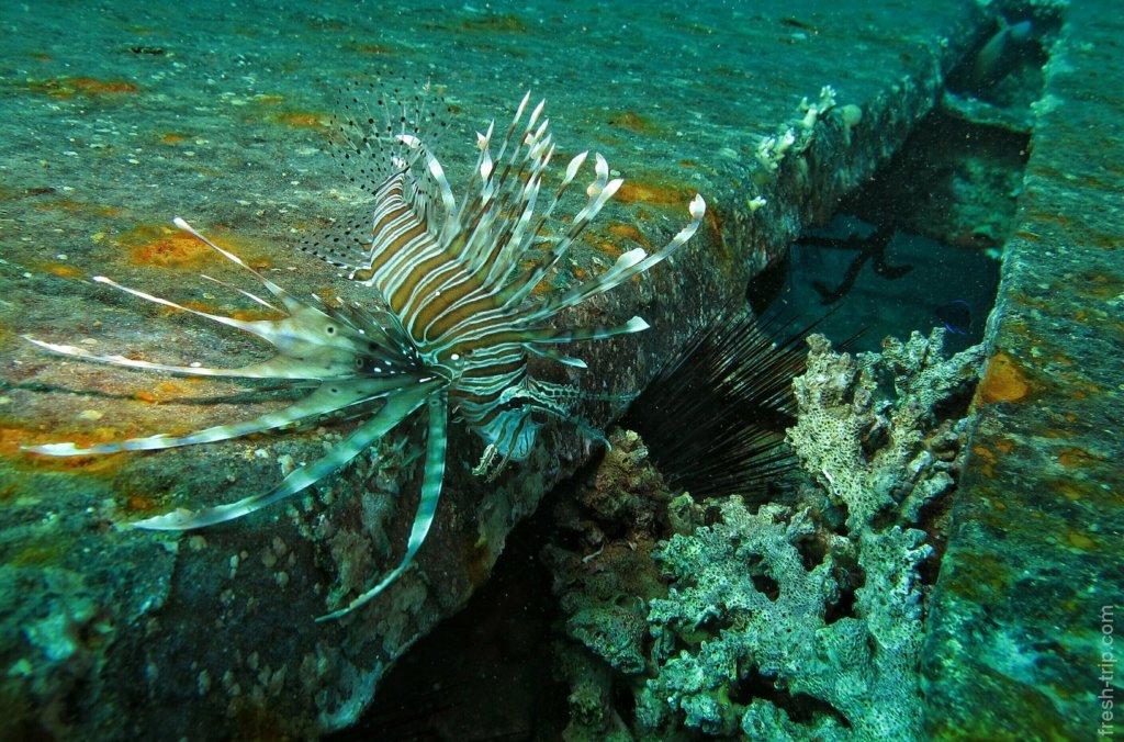 Common lionfish (Pterois miles)