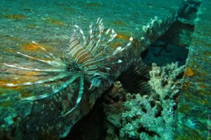 Common lionfish (Pterois miles)