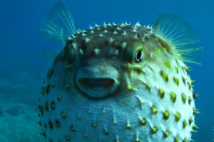 porcupinefish (lat. Diodon hystrix)